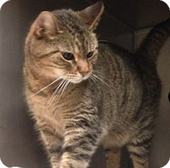 Domestic Shorthair Cat for adoption in Palatine, Illinois - Rascal