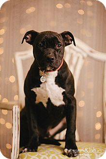 Pit Bull Terrier Puppy for adoption in Portland, Oregon - Princeton