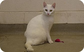 Domestic Shorthair Cat for adoption in Bucyrus, Ohio - Lil' Miss Buckles