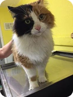 Domestic Longhair Cat for adoption in Monroe, Michigan - Dolce
