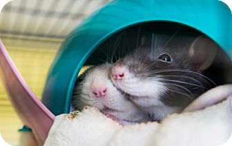 Rat for adoption in Lowell, Massachusetts - Claire