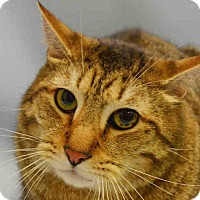 Domestic Shorthair Cat for adoption in Central Islip, New York - Milo