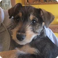 Adopt A Pet :: Kiwi - Salem, NH