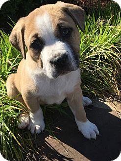 Labrador Retriever/Boxer Mix Puppy for adoption in Eden Prairie, Minnesota - Roscoe