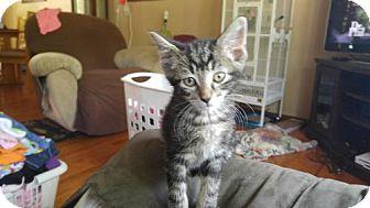 Domestic Shorthair Cat for adoption in Minneapolis, Minnesota - Classified  aka classy