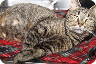 Domestic Shorthair Cat for adoption in Marietta, Ohio - Cotton Candy (Pregnant)