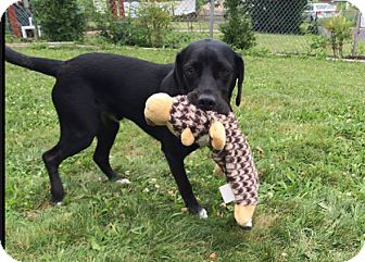 Labrador Retriever Mix Dog for adoption in Alexandria, Virginia - Blaze
