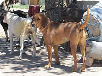 Hound (Unknown Type) Dog for adoption in Pie Town, New Mexico - Bonnie