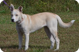 Labrador Retriever Mix Dog for adoption in Lebanon, Missouri - Skye