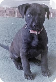 Catahoula Leopard Dog/Mountain Cur Mix Puppy for adoption in Saratoga Springs, New York - Willa ~ ADOPTED!
