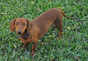 Dachshund Dog for adoption in Dallas, Texas - Jax
