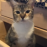 Calico Cat for adoption in Lauderhill, Florida - Bodhi