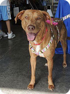 Catahoula Leopard Dog/Labrador Retriever Mix Dog for adoption in Humble, Texas - Chloe