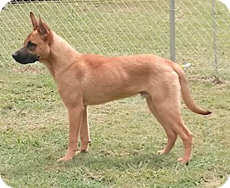 Belgian Malinois Puppy for adoption in Buffalo, New York - Hagard