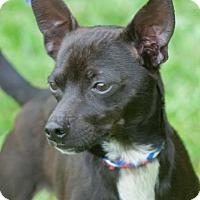 Adopt A Pet :: Chico - Johnson City, TN