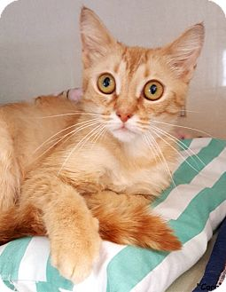 Domestic Shorthair Cat for adoption in Key Largo, Florida - Coral
