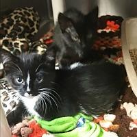 Adopt A Pet :: Hocus - Chippewa Falls, WI