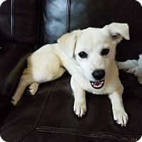 Shiba Inu/Dachshund Mix Puppy for adoption in Oakton, Virginia - Biscuit