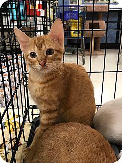 Domestic Shorthair Kitten for adoption in Arlington/Ft Worth, Texas - Monkey