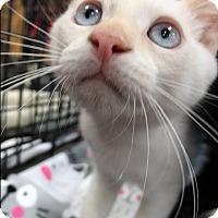 Siamese Kitten for adoption in Orange, California - Yang