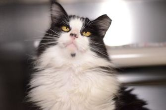 Domestic Longhair/Domestic Shorthair Mix Cat for adoption in New Freedom, Pennsylvania - Floofers