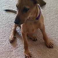 Adopt A Pet :: Major - Olympia, WA