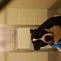 Adopt A Pet :: Buddy Owner Surrender - Rowayton, CT