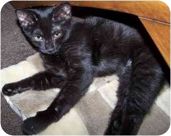 Domestic Shorthair Cat for adoption in Sheboygan, Wisconsin - Milly