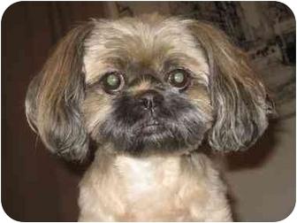 Shih Tzu Dog for adoption in Long Beach, New York - Billy