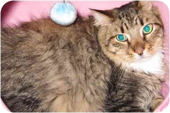 Maine Coon Cat for adoption in Randolph, New Jersey - Teddy