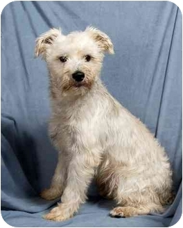Schnauzer (Miniature) Mix Dog for adoption in Anna, Illinois - CACHE