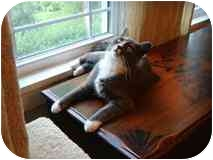 Domestic Shorthair Cat for adoption in Manalapan, New Jersey - Lucy