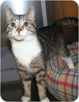 Domestic Shorthair Cat for adoption in Edmonton, Alberta - Jasper
