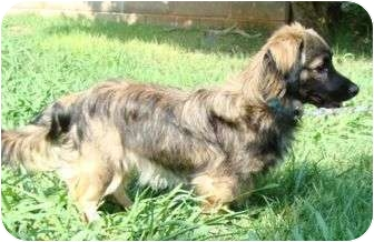 Cavalier King Charles Spaniel/Dachshund Mix Dog for adoption in Staunton, Virginia - Cow Ramus
