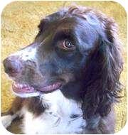 English Springer Spaniel Dog for adoption in Minneapolis, Minnesota - Molly (WI)