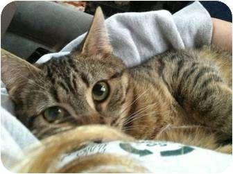 Domestic Shorthair Kitten for adoption in Raritan, New Jersey - Largo