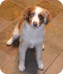 Australian Shepherd Dog for adoption in Overland Park, Kansas - LUCKY