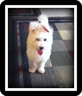 Chinese Crested/Terrier (Unknown Type, Small) Mix Puppy for adoption in Indian Trail, North Carolina - Stan