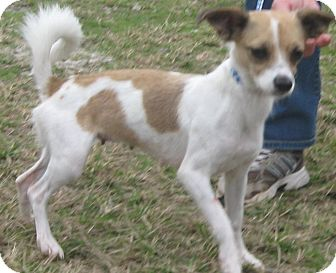 Chihuahua/Jack Russell Terrier Mix Dog for adoption in Newberry, South Carolina - Millie Sue