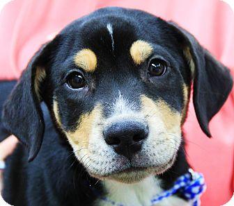 Labrador Retriever/German Shepherd Dog Mix Puppy for adoption in Chicago, Illinois - George