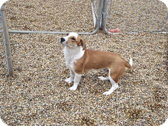 Beagle/Corgi Mix Dog for adoption in Marshall, Texas - Dave Thomas