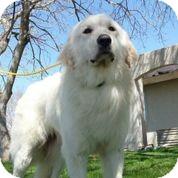 Great Pyrenees Dog for adoption in Austin, Texas - Mikko