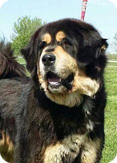 Tibetan Mastiff Dog for adoption in Evansville, Indiana - Bear- Pure !