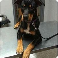 Adopt A Pet :: Rebecca - Arlington, TX