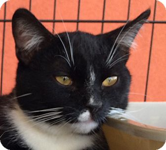 Domestic Shorthair Cat for adoption in Winchester, California - Gallardo