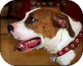 American Staffordshire Terrier Mix Dog for adoption in Kendall, New York - Apache