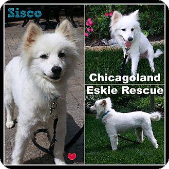 American Eskimo Dog Dog for adoption in Elmhurst, Illinois - Sisco