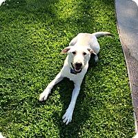 Adopt A Pet :: Louie - CHESTERFIELD, MI