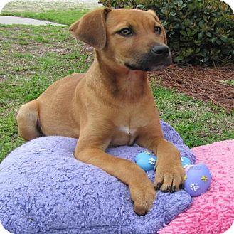 Labrador Retriever Mix Puppy for adoption in Port St. Joe, Florida - Demi