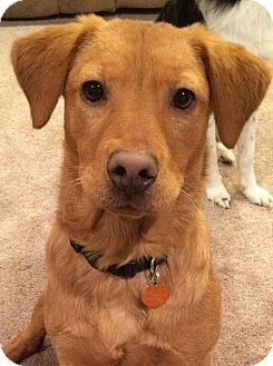 Golden Retriever Mix Dog for adoption in Staunton, Virginia - Abel